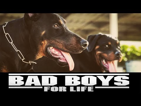 BAD BOYS FOR LIFE : DOBERMANS & ROTTWEILERS