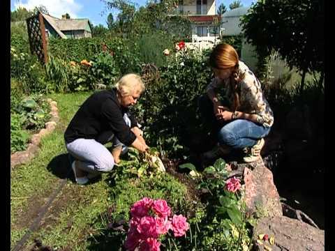 подготовка кустов роз к зиме видео