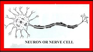 How to draw neuron in easy steps or Nerve Cell.school project,.