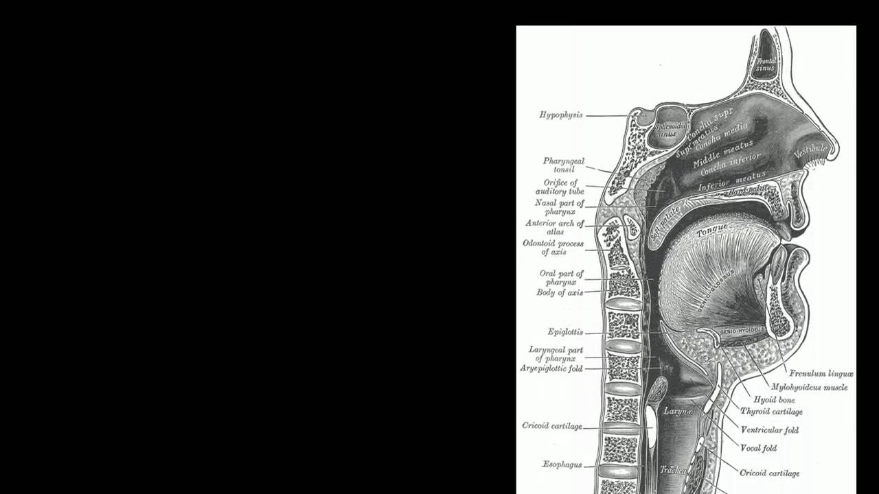 Introduction to Anatomy: Structures of the Airway - YouTube