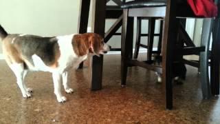 Lana The Yorkie Vs Lois The Beagle
