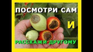 БОЛЕЗНИ ТОМАТОВ / вершинная гниль / НОВОЕ ПРОСТОЕ СРЕДСТВО / DISEASES OF TOMATOES