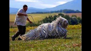 人間を超えるような大きな犬達。でもまったく自覚がない ほのぼの画像【...