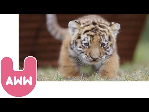 Cute Siberian Tiger Cubs from Hungary