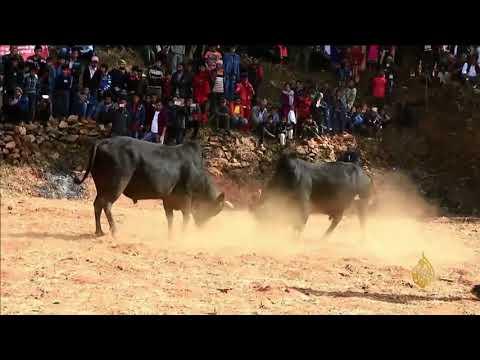 هذا الصباح- صراع الثيران في نيبال  - نشر قبل 3 ساعة