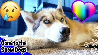 Shelby has surgery again? 😰 Husky goes back to the vet