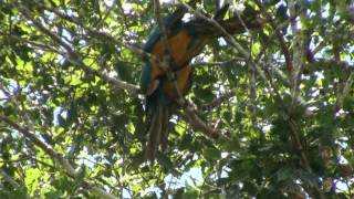 Birds of Peru: Blue and yellow macaws - Ara ararauna - Papagayo Birds of Peru: Blue and yellow macaw - Ara ararauna - Papagayo