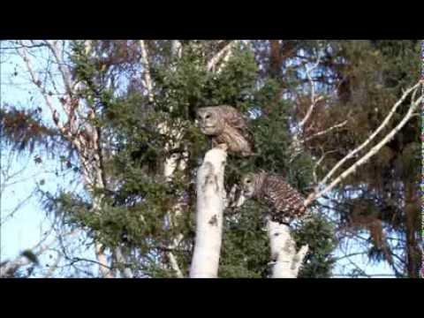 Barred Owl Pair Calling
