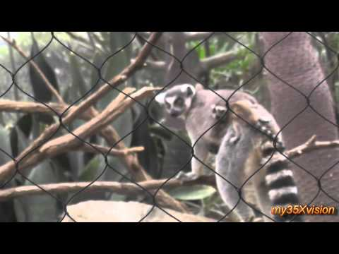 Lemurs with babies and the Red Fody Birds at The Bronx Zoo NYC on a Wedding Night
