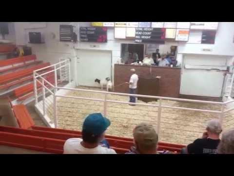 Boer Goats Centennial Livestock Auction