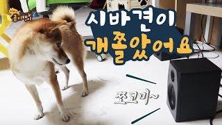 스피커에서 주인 목소리를 들은 강아지 반응 / 시바견 곰이탱이 Shibainu