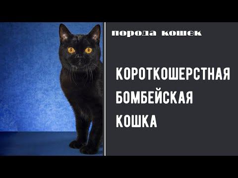 Вопрос: Как опознать бомбейскую кошку?
