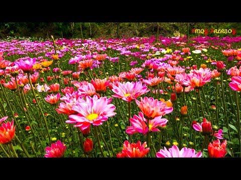 EDENS FLOWER FARM - Hidden Paradise In Tupi, South Cotabato