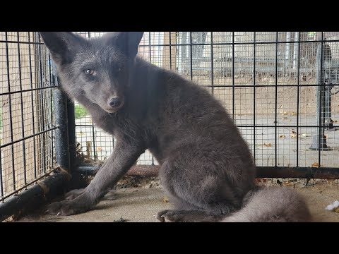 1on1 with new rescue silver fox! A new partner for Ava.