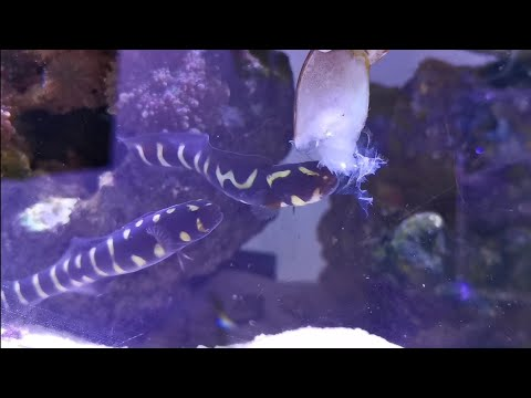 FEEDING My SaltWater Snakes ! ( Engineer Goby)