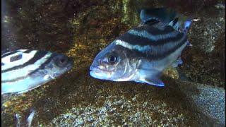 コトヒキ Arrow bass, Creacent-banded tigerfish Terapon jarbua   スズキ目スズキ亜目シマイサキ科コトヒキ属