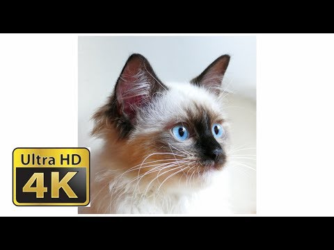 4K Little Ana Ragdoll Cat #2.2