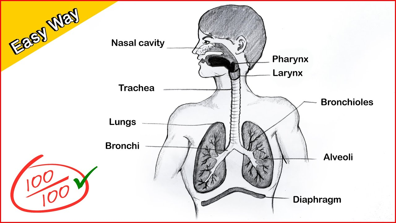 How To Draw A Human Respiratory System Diagram Drawing Easy Science Project Making Step By Step Youtube