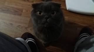 Кот жирдяй 4.1 кг. и это только год и 4 месяца