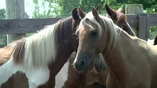 Rare Choctaw horses bred in Deep South