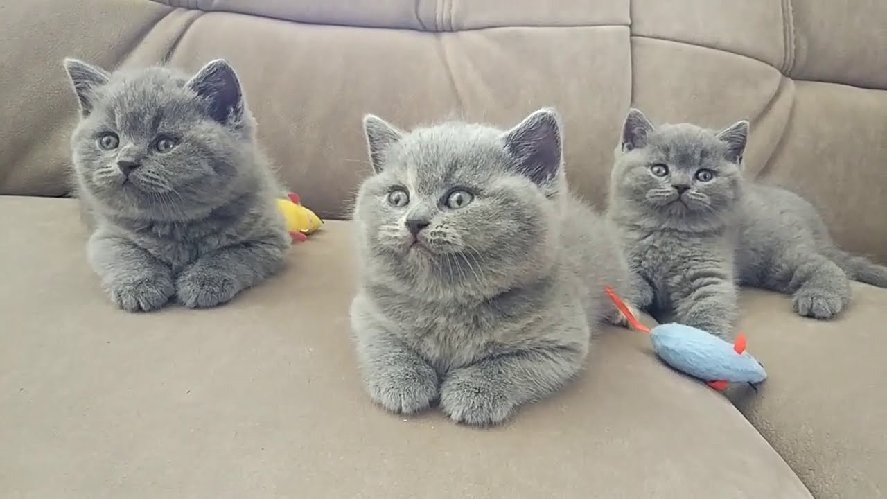 British Shorthair Kitten 7 weeks old - YouTube