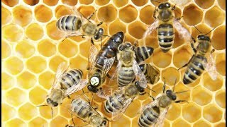 How Does a Bee Become a Queen Bee ...