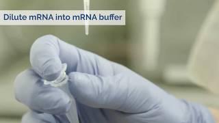 mRNA transfection tutorial using jetMESSENGER transfection reagent - Polyplus-transfection