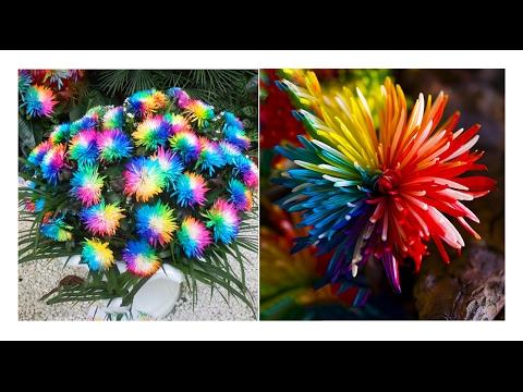 Радужные Хризантемы, замачивание и проращивание семян. № 2