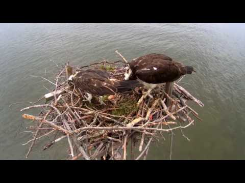 Osprey Cam Highlights