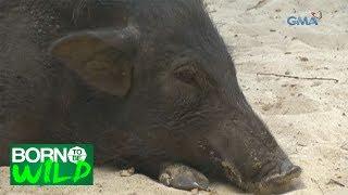 Born to Be Wild: Unusual behavior of wild boars