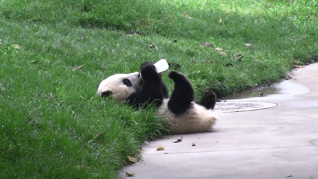Cute Baby Panda Pics: Cute Panda Drinking Milk In Chengdu China