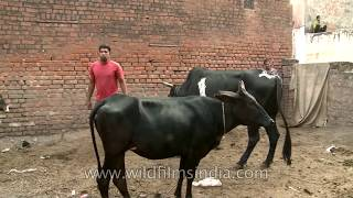 Mating cow and more bull!