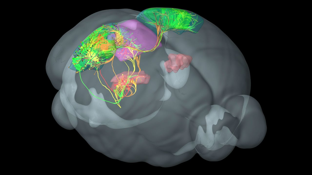 Fueling Discovery: Allen Mouse Brain Connectivity Atlas - YouTube