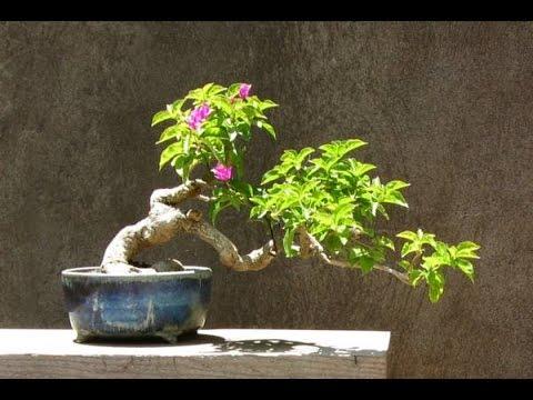 Bougainvillea bonsai youtube for Bougainvillea bonsai prezzo