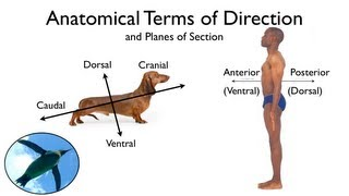 Anatomical Terms of Direction and Planes of Section