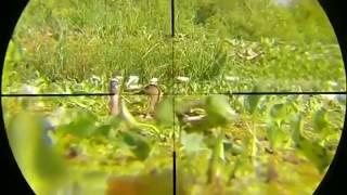 Berburu Belibis Amuntai Spesial Head Shoot