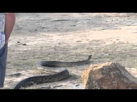 4 Metre long Python found in engine bay! MUST SEE!