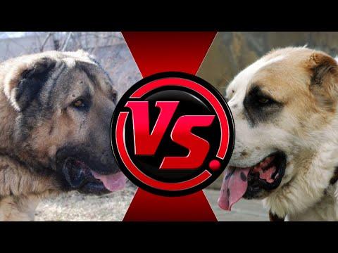 АЛАБАЙ против Гампра   Кто победит? Среднеазиатская овчарка против армянского волкодава.