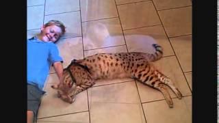 Кошка ашера играется с ребёнком   Ashera cat plays with a child