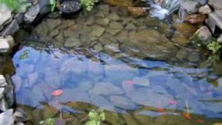 DIY 2000 liter (520gal) Goldfish pond 2 weeks old