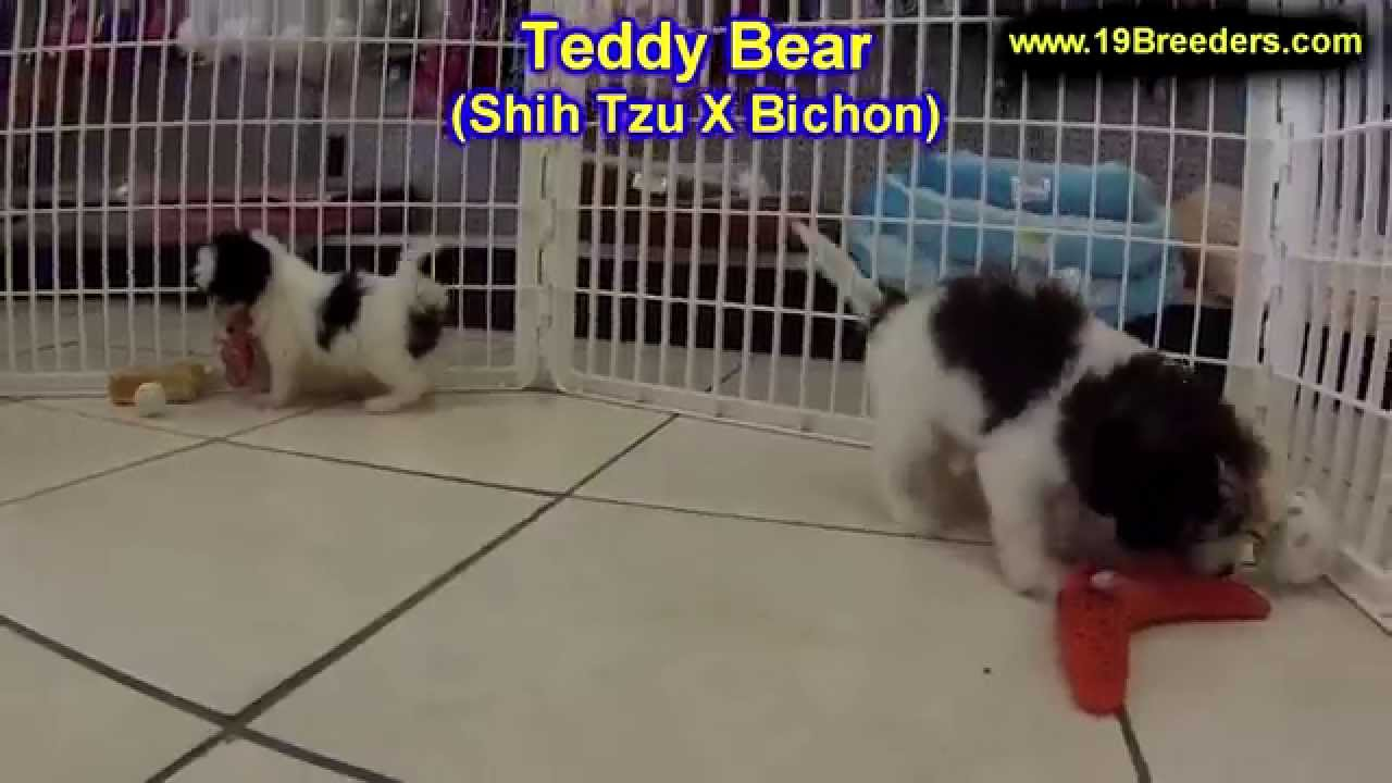 Teddy Bear, Puppies, Dogs, For Sale, In Huntington, County ...