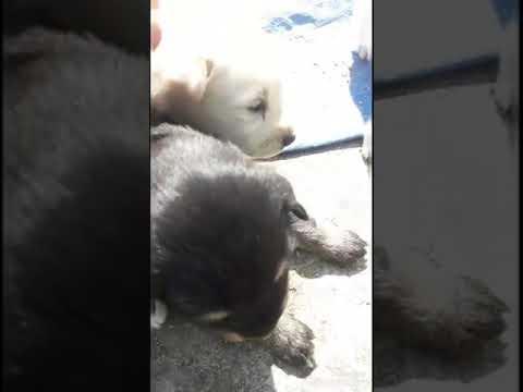 Cross Breed LABRADOR puppies in my village(Bhotia dog vines)
