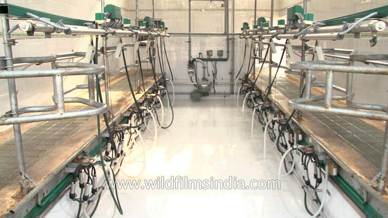 Modern Dairy Farm Punjab