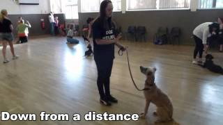 Residential Dog Training / Doggy Boot Camp - Training Frankie, Lurcher - With Adolescent Dogs