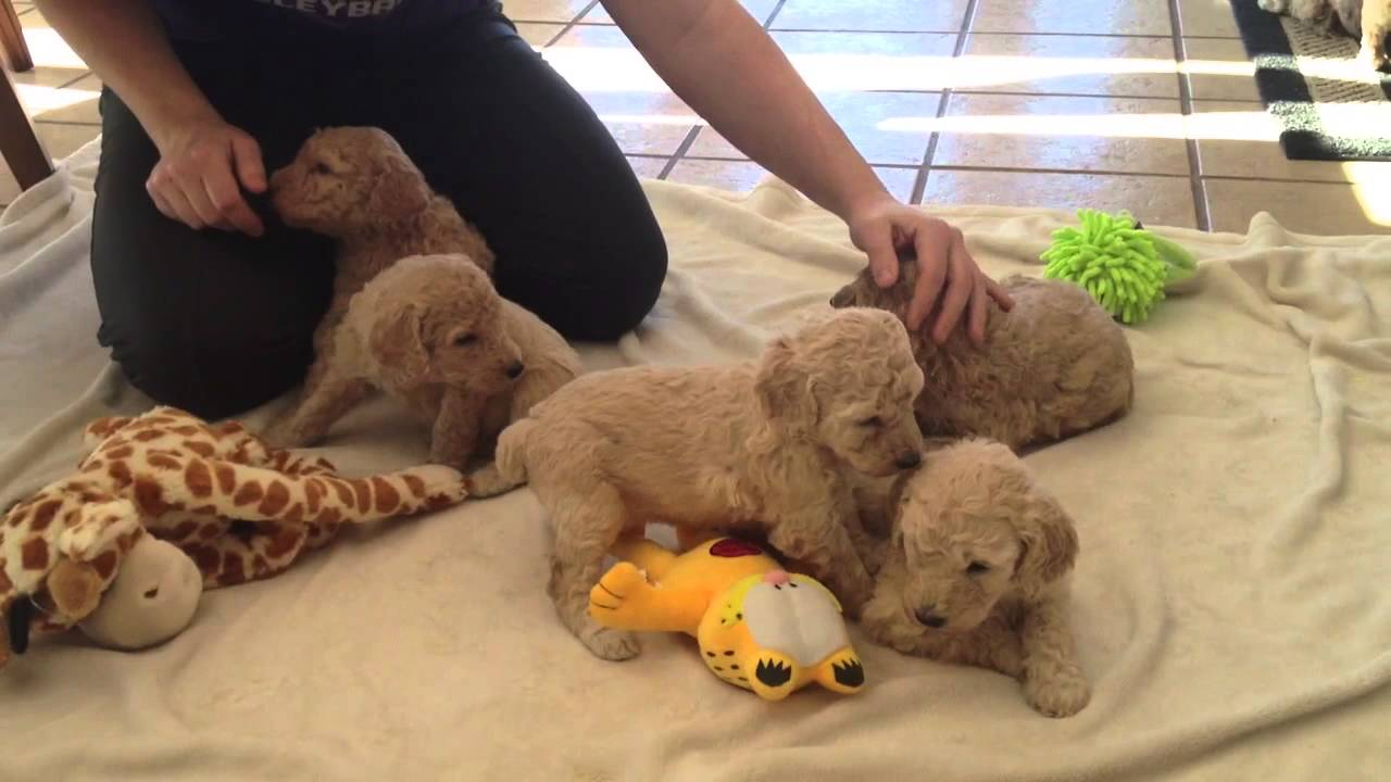 Standard Poodle Puppies For Sale Near Iowa Minnesota Border Youtube