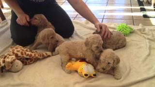 Standard Poodle Puppies For Sale Near Iowa Minnesota Border