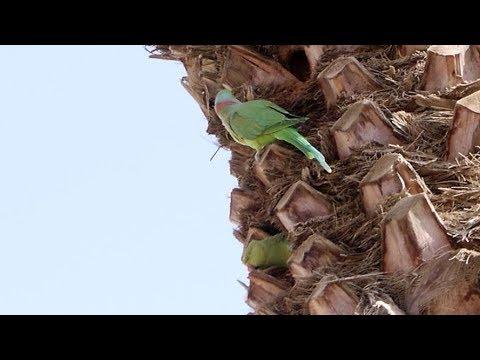 Индийский кольчатый попугай / Parrots