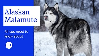 All you need to know about Alaskan Malamute