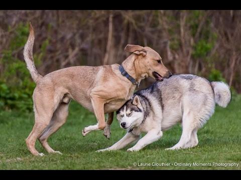 Husky meets a Wolf Dog - BEST REACTION EVER