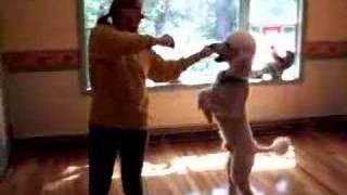 Dancing Poodle Dog, Bailey, Conga